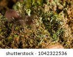 Atypus Affinis  Purseweb Spider