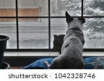 Stock photo hdr rat terrier dog on pillow looking out window 1042328746
