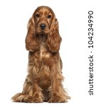 English Cocker Spaniel  9...