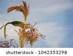 Broom Corn On The Stalk