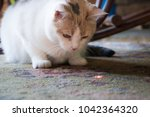 Stock photo beautiful calico cat staring at a red dot from a laser pointer 1042364320
