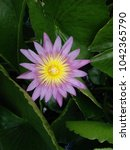 Small photo of Top view of pink petal lotus with yellow pistil on green leaves background, mobile phone