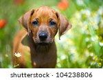 Cute Rhodesian Ridgeback Puppy...