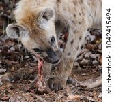 spotted laughing hyena eating... | Shutterstock . vector #1042415494