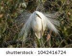 the great egret in breeding... | Shutterstock . vector #1042416724