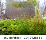wildly growing moss  with... | Shutterstock . vector #1042428556