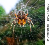 Small photo of Cross spide in its web looking down preying