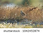 common kestrel  falco...   Shutterstock . vector #1042452874