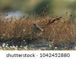 common kestrel  falco...   Shutterstock . vector #1042452880