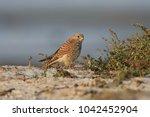 common kestrel  falco...   Shutterstock . vector #1042452904