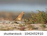 common kestrel  falco...   Shutterstock . vector #1042452910