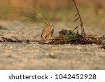common kestrel  falco...   Shutterstock . vector #1042452928