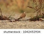 common kestrel  falco...   Shutterstock . vector #1042452934