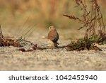 common kestrel  falco...   Shutterstock . vector #1042452940