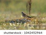 common kestrel  falco...   Shutterstock . vector #1042452964