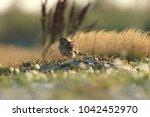 common kestrel  falco...   Shutterstock . vector #1042452970