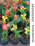canna lilly flowers in pot at... | Shutterstock . vector #1042454569