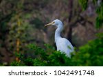 the cattle egret is a...   Shutterstock . vector #1042491748