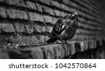 Wet Pigeon Sitting On A...