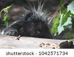 cute porcupine climbing over a... | Shutterstock . vector #1042571734
