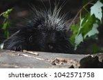 adorable black porcupine... | Shutterstock . vector #1042571758
