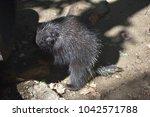 large wild porcupine standing... | Shutterstock . vector #1042571788