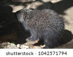 wild porcupine with black and... | Shutterstock . vector #1042571794