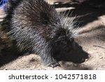 cute north american porcupine... | Shutterstock . vector #1042571818