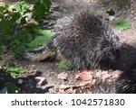 adorable wild porcupine walking ... | Shutterstock . vector #1042571830