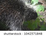 wild porcupine looking right at ... | Shutterstock . vector #1042571848