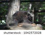 sweet porcupine calmly climbing ... | Shutterstock . vector #1042572028