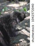 large adult porcupine eating... | Shutterstock . vector #1042572040