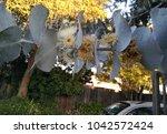 silver leaf stringybark  silver ... | Shutterstock . vector #1042572424