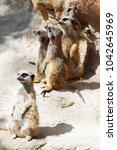 suricate or meerkat  suricata...   Shutterstock . vector #1042645969