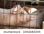 big old pig lying in the cage.... | Shutterstock . vector #1042683244