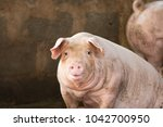 group of hog waiting feed. pig... | Shutterstock . vector #1042700950