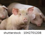 group of hog waiting feed. pig... | Shutterstock . vector #1042701208