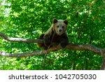 bear from zarnesti natural...   Shutterstock . vector #1042705030
