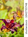 Small photo of Beautiful purple garden flower lit with summer sun, side view of a dark red daylily American Revolution, maroon hemerocallis hybrid, summertime blooming flowers, garden background