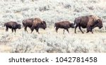Small photo of Two bison mothers and their calves plod between sagebrush stands in search of fresh grazing.