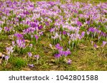 crocus  plural crocuses or... | Shutterstock . vector #1042801588