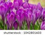 crocus  plural crocuses or...   Shutterstock . vector #1042801603