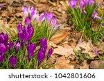 crocus  plural crocuses or...   Shutterstock . vector #1042801606