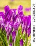 crocus  plural crocuses or...   Shutterstock . vector #1042801609
