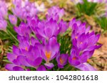 crocus  plural crocuses or... | Shutterstock . vector #1042801618