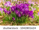 crocus  plural crocuses or... | Shutterstock . vector #1042801624
