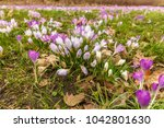 crocus  plural crocuses or... | Shutterstock . vector #1042801630