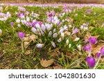 crocus  plural crocuses or...   Shutterstock . vector #1042801630
