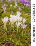 crocus  plural crocuses or...   Shutterstock . vector #1042801633