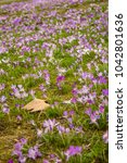crocus  plural crocuses or...   Shutterstock . vector #1042801636